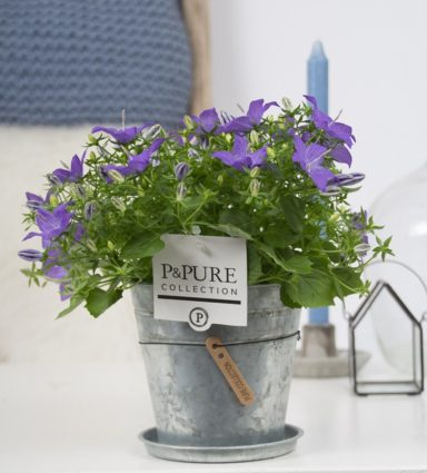 L002-3700-Campanula-p11-Napoli-in-zinc-pot-Louise-new