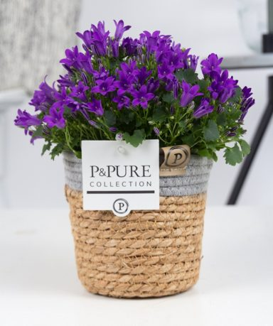L008-0900-Campanula-p11-Porto-in-Pure-Basket
