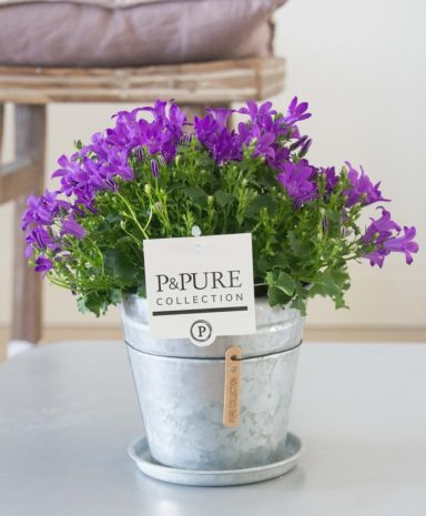 L008-3700-Campanula-p11-Porto-in-zinc-pot-Louise