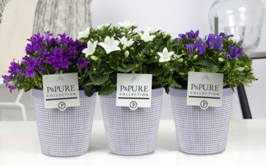 L187-0300-Campanula-p11-mix-in-Pure-Clay-3