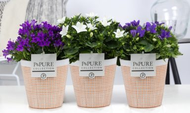 L188-2200-Campanula-p11-mix-in-Pure-Terra-Cotta