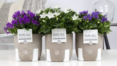 L190-2400-Campanula-mix-in-Jade-3