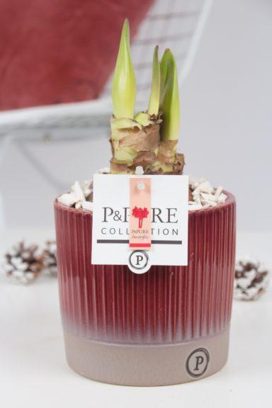 PC02-100-Amaryllis-p12-red-in-Lucille-ceramics-red