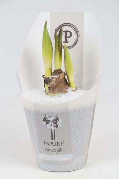 PC02-105-Amaryllis-p12-white-in-Pure-Collection-Gold-Line-packaging-with-snow