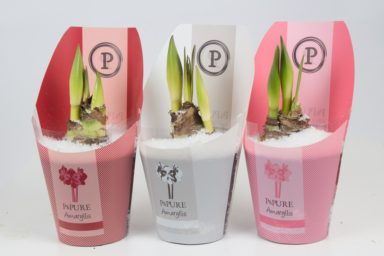 PC02-107-Amaryllis-p12-mix-in-Pure-Collectin-Gold-Line-packaging-with-snow