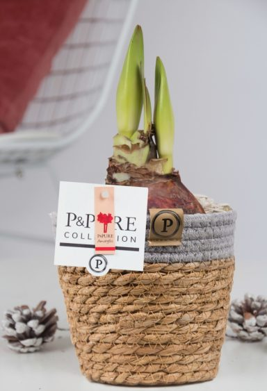 PC02-109-Amaryllis-p12-red-in-Pure-Basket