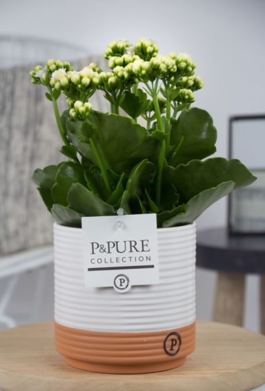 PC02-201-Kalanchoe-p12-white-in-Pure