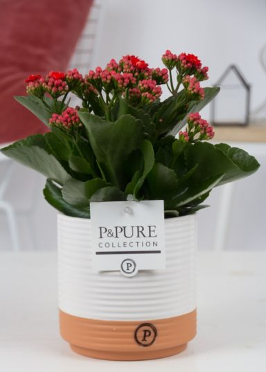 PC02-202-Kalanchoe-p12-red-in-Pure
