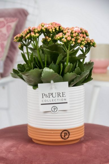 PC02-203-Kalanchoe-p12-pink-in