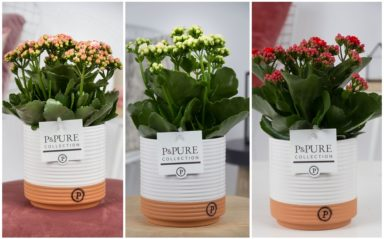 PC02-204-Kalanchoe-p12-mix-in-Pure