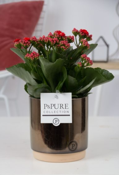 PC0206-Kalanchoe-p12-red-in-Julia-cer.-goldbronze