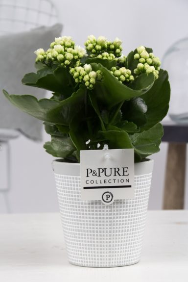 PC02-220-Kalanchoe-p12-white-in-Pure-Clay-3