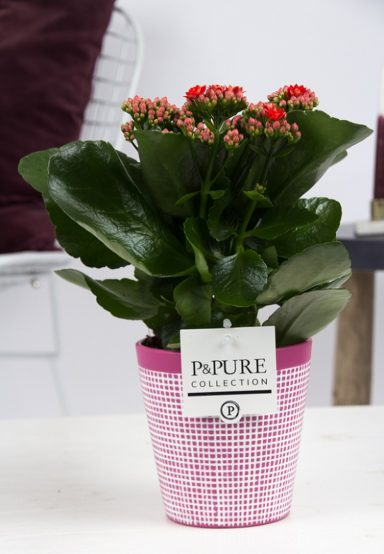 PC02-221-Kalanchoe-p12-red-in-Pure-Clay-3