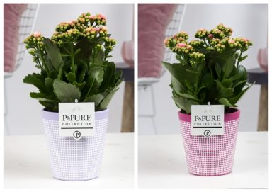 PC02-222-Kalanchoe-p12-pink-in-Pure-Clay-3