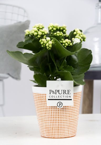 PC0226-Kalanchoe-p12-white-in-Pure-Terra-Cotta-3