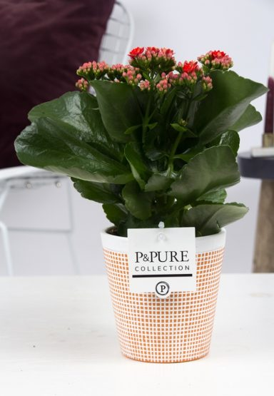 PC02-227-Kalanchoe-p12-red-in-Pure-Terra-Cotta