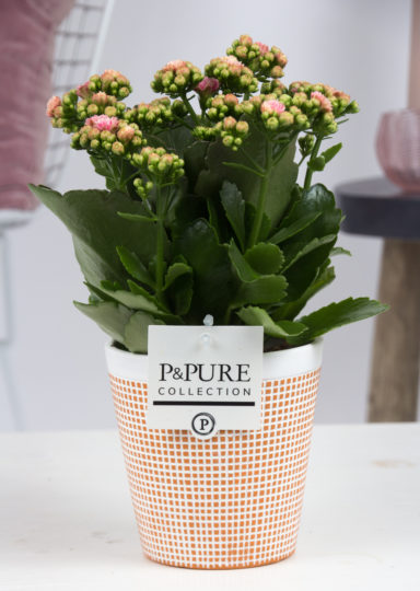 PC02-228-Kalanchoe-p12-pink-in-Pure-Terra-Cotta
