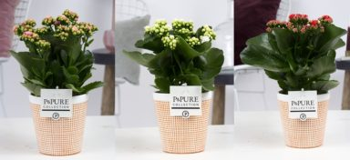 PC02-229-Kalanchoe-p12-mix-in-Pure-Terra-Cotta