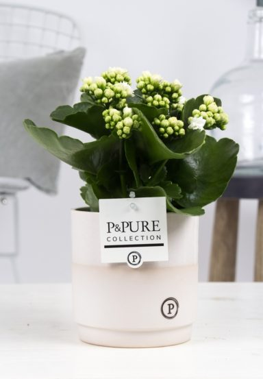 PC02-230-Kalanchoe-p12-in-Juliette-cer.