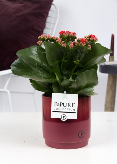 PC02-233-Kalanchoe-p12-in-Juliette-cer.