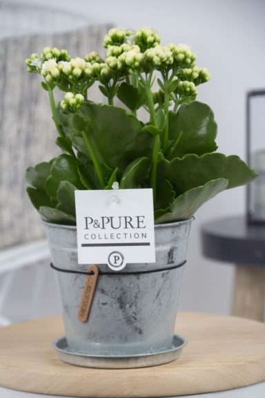 PC02-241-Kalanchoe-p12-white-in-zinc-Louise-2