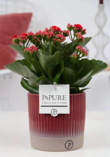 PC0251-Kalanchoe-p12-red-in-Lucille-ceramics-red