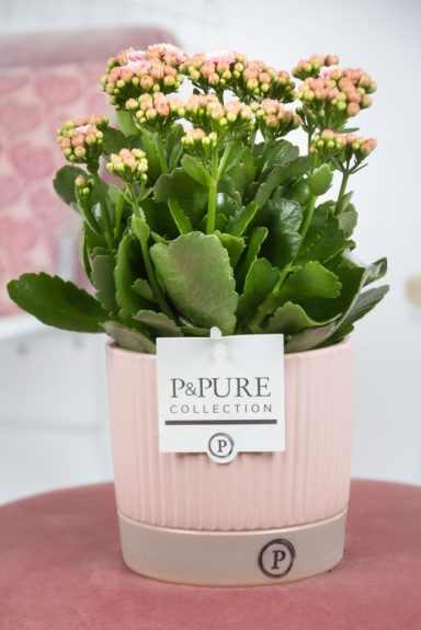 PC0252-Kalanchoe-p12-pink-in-Lucille-ceramics-pink
