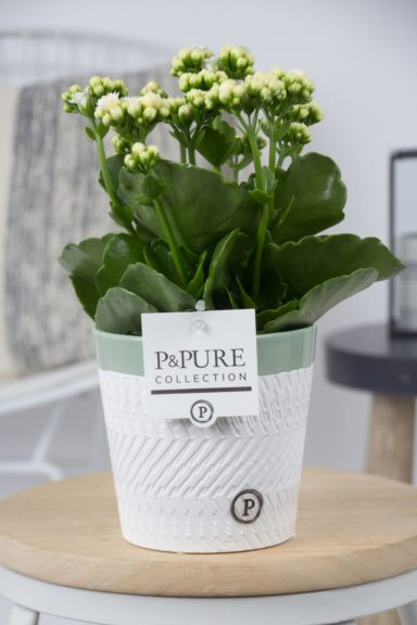 PC02-254-Kalanchoe-p12-white-in-Valerie