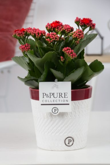 PC02-255-Kalanchoe-p12-in-Valerie
