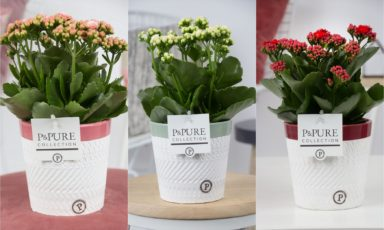PC02-257-Kalanchoe-p12-mix-in-Valerie
