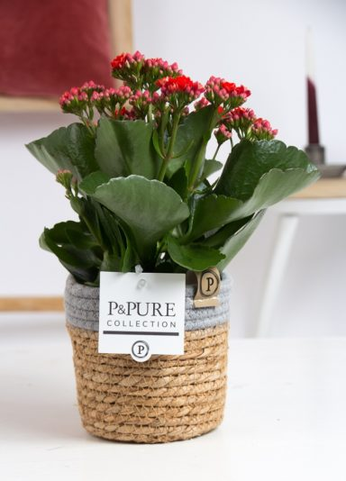 PC02-268-Kalanchoe-p12-red-in-Pure-Basket