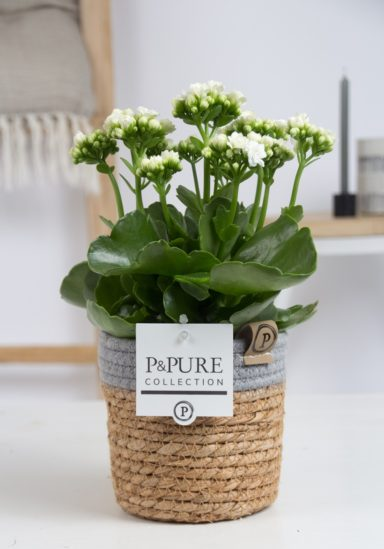 PC02-269-Kalanchoe-p12-white-in-Pure-Basket