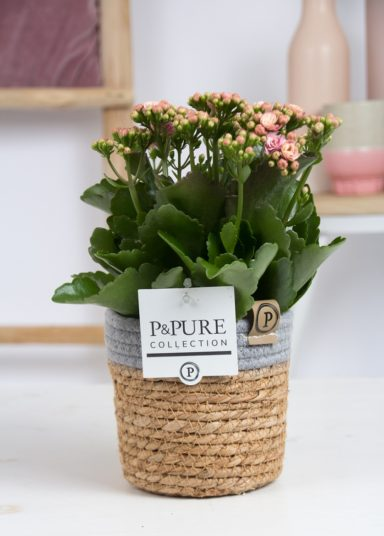PC02-270-Kalanchoe-p12-pink-in-Pure-Basket
