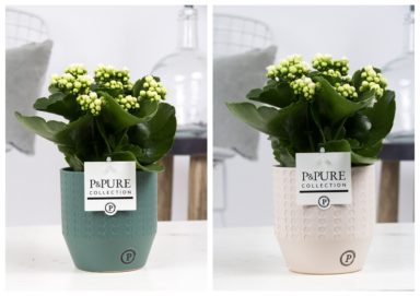 PC02-286-Kalanchoe-p12-white-in-Eline-cer.