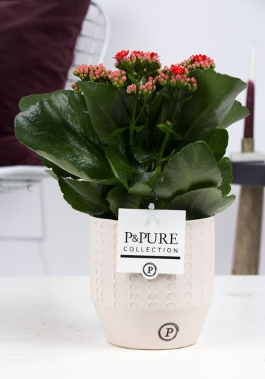 PC02-288-Kalanchoe-p12-red-in-Eline-cer.