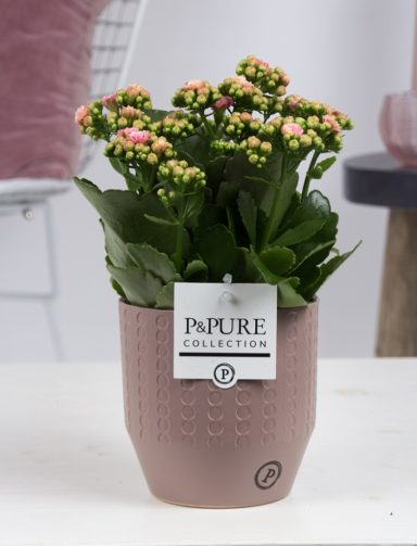 PC02-289-Kalanchoe-p12-in-Eline-ceramics