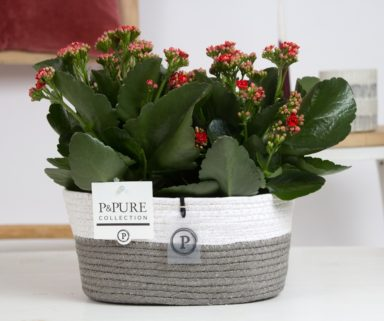 PC0292x-Kalanchoe-p12-red-in-Fieldbasket-6