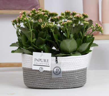 PC0293x-Kalanchoe-p12-pink-in-Fieldbasket-6