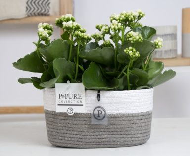 PC0294x-Kalanchoe-p12-white-in-Fieldbasket-6