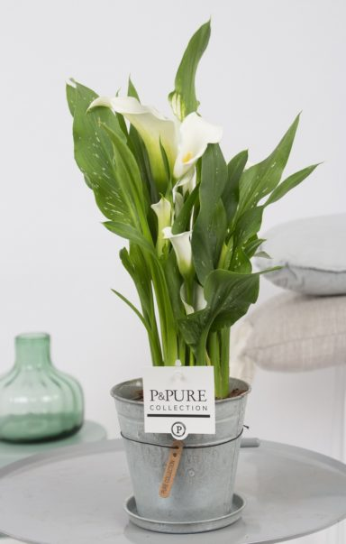 PC02-400-Zantedeschia-p12-white-in-zinc-pot-Louise-2-2