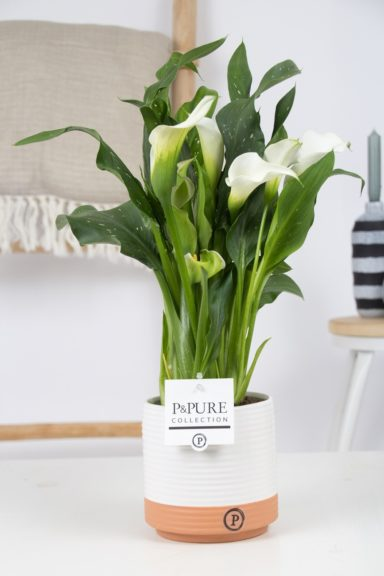 PC02-401-Zantedeschia-White-Pure