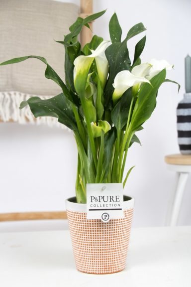 PC02-404-Zantedeschia-p12-white-in-Terra-Cotta