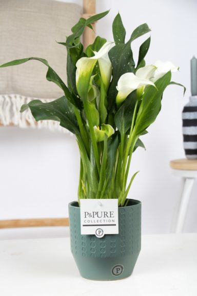 PC02-406O-Zantedeschia-p12-White-Pure-Eline