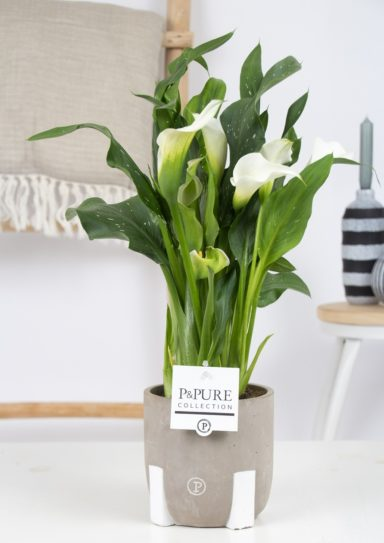 PC02-407-Zantedeschia-White-Pure-Jade