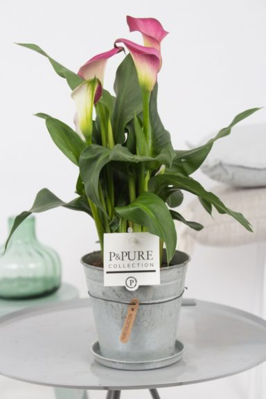 PC02-409-Zantedeschia-p12-pink-in-zinc-pot-Louise-_