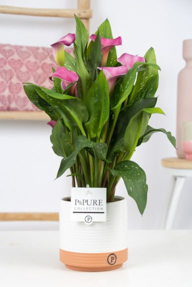 PC02-410-Zantedeschia-pink-Pure