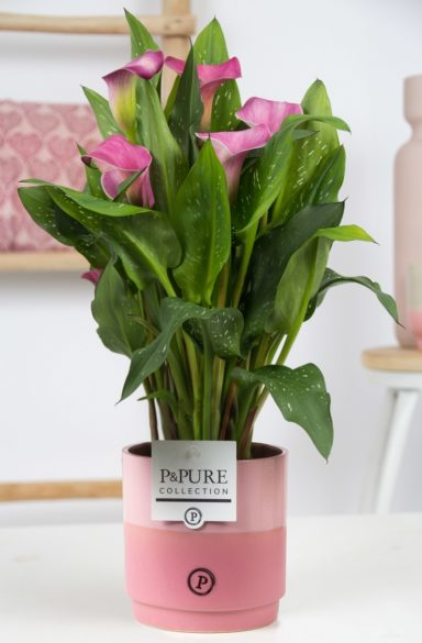 PC02-411O-Zantedeschia-p12-Pure-Juliette
