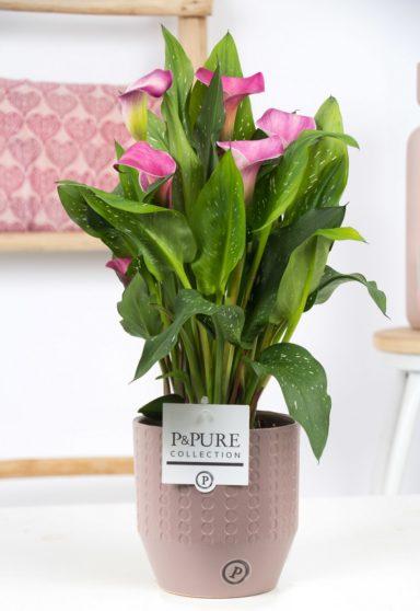 PC02-413O-Zantedeschia-p12-pink-Pure-Eline