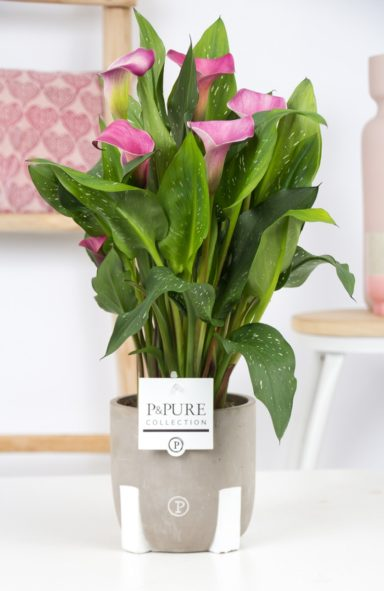 PC02-414-Zantedeschia-p12-Pink-Pure-Jade