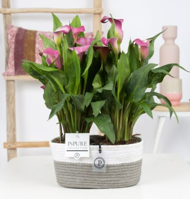 PC02-422-2x-Zantedeschia-p12-Pink-Pure-Fieldbasket